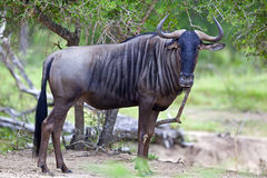 μπλε πιό wildebeest Στοκ Εικόνα