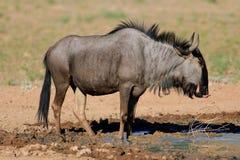 μπλε πιό wildebeest Στοκ φωτογραφίες με δικαίωμα ελεύθερης χρήσης