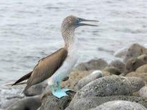 Μπλε-πληρωμένος γκαφατζής που γρατσουνίζει το κεφάλι του στη Isla Lobos στα νησιά Galalagos στοκ εικόνες