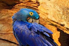 Μπλε πορτρέτο Macaw Να τοποθετηθεί συμπεριφορά Υάκινθος Macaw, hyacinthinus Anodorhynchus, στην κοιλότητα φωλιών δέντρων, Pantana Στοκ Εικόνες