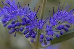 Μπλε, πορφυρό λουλούδι, clandonensis Caryopteris, θεϊκό μπλε στοκ εικόνες