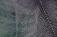 μπλε πορφύρα φτερών Στοκ Εικόνα