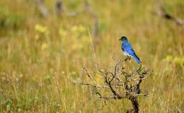 Μπλε πουλί βουνών που σκαρφαλώνει σε έναν θάμνο Στοκ Εικόνες