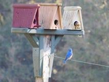 Μπλε πουλί Στοκ Φωτογραφία