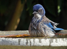 Μπλε πουλί Στοκ Φωτογραφίες