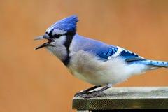 μπλε που καλεί jay στοκ φωτογραφία με δικαίωμα ελεύθερης χρήσης