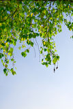 μπλε πράσινος ουρανός φυλλώματος κλάδων στοκ φωτογραφία