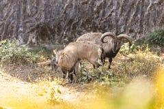 Μπλε πρόβατα και αρνί με το θάμνο στο πρώτο πλάνο που ζουν στο ζωολογικό πάρκο Padmaja Naidu Himalayan σε Darjeeling, Ινδία Στοκ φωτογραφίες με δικαίωμα ελεύθερης χρήσης