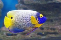 Μπλε πρόσωπο Angelfish Στοκ Εικόνες
