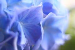 Μπλε & πτώσεις λουλουδιών Gidrangea Στοκ Φωτογραφίες