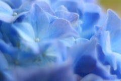 Μπλε & πτώσεις λουλουδιών Gidrangea Στοκ Εικόνα