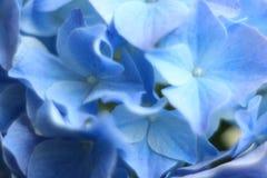 Μπλε & πτώσεις λουλουδιών Gidrangea Στοκ φωτογραφία με δικαίωμα ελεύθερης χρήσης