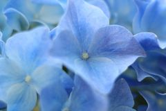 Μπλε & πτώσεις λουλουδιών Gidrangea Στοκ Εικόνες
