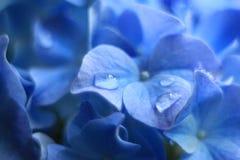 Μπλε & πτώσεις λουλουδιών Gidrangea Στοκ εικόνα με δικαίωμα ελεύθερης χρήσης