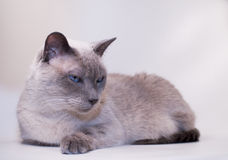 μπλε σημείο γατών σιαμέζο Στοκ εικόνες με δικαίωμα ελεύθερης χρήσης