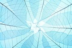 μπλε σκελετός φύλλων Στοκ Φωτογραφίες