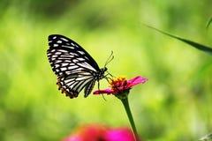 μπλε σκοτάδι ψαλιδίσματος πεταλούδων που απομονώνεται πέρα από το λευκό τιγρών μονοπατιών στοκ εικόνες