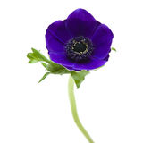 μπλε σκοτάδι anemone Στοκ Φωτογραφίες