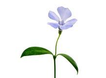 μπλε σκοτεινό λουλούδ&iot στοκ εικόνα με δικαίωμα ελεύθερης χρήσης