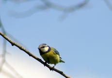 μπλε σπουργίτι πουλιών tit Στοκ Φωτογραφία