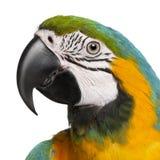 μπλε στενό macaw ararauna ara επάνω κίτριν&omi Στοκ Εικόνες