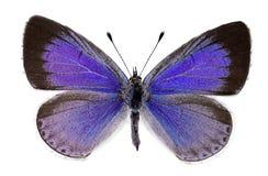 Μπλε της Holly (argiolus Celastrina), θηλυκό Στοκ φωτογραφίες με δικαίωμα ελεύθερης χρήσης