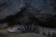 Μπλε-τονισμένη skink δορά πίσω από τη μικρή χλόη στο πάτωμα άμμου και το CLI Στοκ Εικόνες