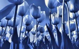 μπλε τουλίπα πεδίων s του & Στοκ φωτογραφία με δικαίωμα ελεύθερης χρήσης