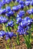 μπλε τουλίπες Στοκ Εικόνες