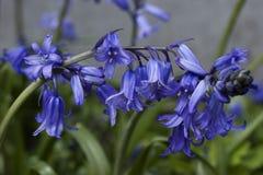 Μπλε υάκινθος λουλουδιών Tne Κινηματογράφηση σε πρώτο πλάνο 1 Στοκ Φωτογραφίες