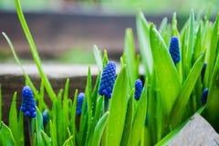 Μπλε υάκινθος σταφυλιών armeniacum Muscari που ανθίζει στον κήπο Στοκ Φωτογραφίες