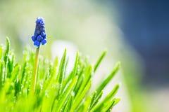 Μπλε υάκινθος σταφυλιών armeniacum Muscari που ανθίζει στον κήπο Στοκ Εικόνα