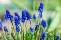 Μπλε υάκινθος σταφυλιών armeniacum Muscari που ανθίζει στον κήπο Στοκ εικόνες με δικαίωμα ελεύθερης χρήσης