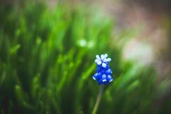 Μπλε υάκινθος σταφυλιών armeniacum Muscari που ανθίζει στον κήπο Στοκ Φωτογραφία
