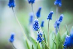 Μπλε υάκινθος σταφυλιών armeniacum Muscari που ανθίζει στον κήπο Στοκ φωτογραφία με δικαίωμα ελεύθερης χρήσης
