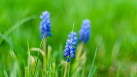 Μπλε υάκινθος σταφυλιών armeniacum Muscari που ανθίζει στον κήπο Στοκ εικόνα με δικαίωμα ελεύθερης χρήσης