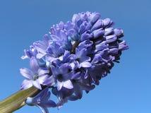 μπλε υάκινθος στοκ εικόνα με δικαίωμα ελεύθερης χρήσης