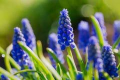 Μπλε υάκινθος Muscari σταφυλιών κήπων άνοιξη Στοκ Εικόνα