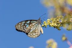μπλε υαλώδης τίγρη πεταλούδων Στοκ Εικόνες
