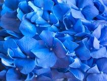 Μπλε υπόβαθρο Hydrangea Το Hortensia ανθίζει την επιφάνεια Μακρο φωτογραφία Στοκ Φωτογραφίες