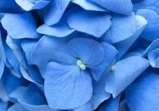 Μπλε υπόβαθρο Hydrangea Το Hortensia ανθίζει την επιφάνεια Μακρο φωτογραφία Στοκ Εικόνα