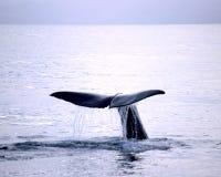 μπλε φάλαινα Στοκ εικόνες με δικαίωμα ελεύθερης χρήσης