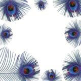 μπλε φτερά peacock Στοκ Εικόνες