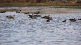 Μπλε-φτερωτές χήνες στη λίμνη φιλμ μικρού μήκους