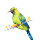 Μπλε-φτερωτό Leafbird Στοκ φωτογραφία με δικαίωμα ελεύθερης χρήσης