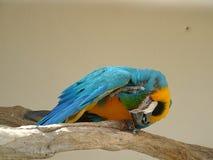 μπλε χρυσός macaw που γρατσουνίζει Στοκ φωτογραφία με δικαίωμα ελεύθερης χρήσης
