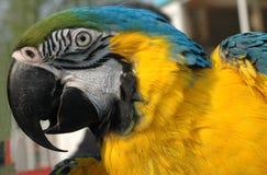 μπλε χρυσός macaw Στοκ Φωτογραφίες
