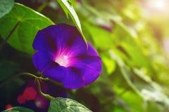 Μπλε χρωματισμένο υπόβαθρο λουλουδιών δόξας πρωινού Στοκ εικόνα με δικαίωμα ελεύθερης χρήσης