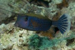 μπλε ψάρια κιβωτίων Στοκ εικόνα με δικαίωμα ελεύθερης χρήσης