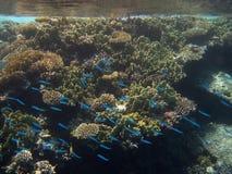 Μπλε ψάρια στο κοράλλι Στοκ Εικόνες